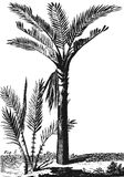 Sago palma ilustracja wektor