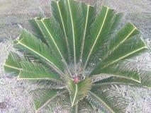 Sago palma zdjęcie royalty free
