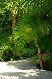 Sago palms Stock Photo
