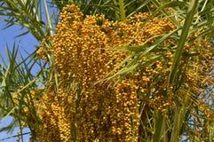 Sago palmy łaciny imienia Cycas revoluta Fotografia Royalty Free