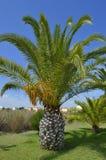 Sago palmy łaciny imienia Cycas revoluta Zdjęcia Stock