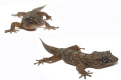 sagolik gecko Arkivfoton