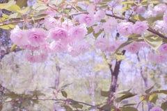 Sagolikt härligt landskap Mjuka rosa blommor av japanska sakura och filialer med sidor arkivfoton