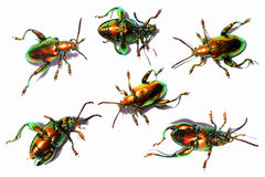 Sagra buqueti, insect beetle set action collection isolated on w Stock Photos