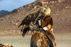 Berkutchi Eagle Hunter with golden eagle during hare hunting. SAGSAY, MONGOLIA - SEP 28, 2017: Berkutchi Eagle Hunter with golden eagle during hare hunting, in Stock Photo