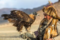 Kazakh Eagle Hunter  while hunting to the hare with a golden eagles on his arms. SAGSAY, MONGOLIA - SEP 28, 2017: Kazakh Eagle Hunter Berkutchi with horse while Royalty Free Stock Images