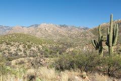 Saguaroökensikter Fotografering för Bildbyråer