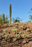 saguaro κάκτων της Αριζόνα Στοκ εικόνες με δικαίωμα ελεύθερης χρήσης