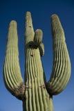 saguaro κάκτων Στοκ Φωτογραφία