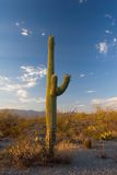saguaro κάκτων Στοκ Εικόνα