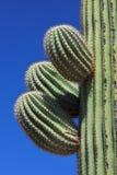 saguaro κάκτων Στοκ εικόνες με δικαίωμα ελεύθερης χρήσης