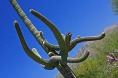 saguaro κάκτων Στοκ εικόνα με δικαίωμα ελεύθερης χρήσης