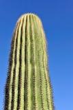 saguaro κάκτων Στοκ Εικόνες