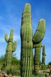 saguaro кактуса Стоковое Изображение RF