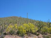 saguaro кактуса Стоковое Изображение