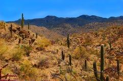 saguaro пустыни стоковые фотографии rf