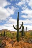 saguaro США национального парка Стоковые Изображения RF