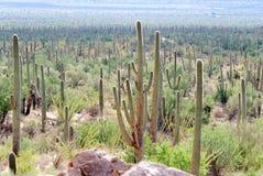 saguaro холма Стоковые Изображения RF