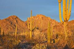 saguaro stockbild