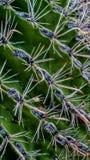 saguaro Imagem de Stock