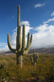 saguaro национального парка кактуса Стоковые Изображения RF
