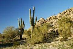 saguaro 2 кактусов Стоковая Фотография