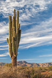 Saguaro Royalty Free Stock Photography