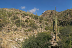 saguaro стоковое фото