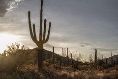 saguaro Photographie stock