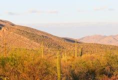 saguaro Photo stock