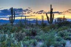 saguaro imagenes de archivo