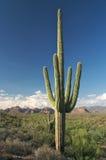 Saguaro Foto de Stock Royalty Free