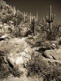 saguaro Stockfotos