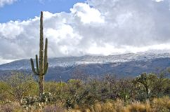 Saguaro Against Snow Covered Mountains. A giant saguaro cactus stands in front of snow covered mountains in Saguaro National Monument near Tucson, Arizona Stock Photos