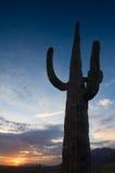 Saguaro alto al tramonto. immagini stock