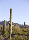 Saguaro. Amazing saguaro cactus in Sonoran Desert, Arizona, USA royalty free stock images