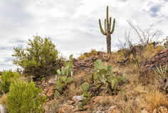 Saguaro at Apache trail scenic drive, Arizona Stock Photo