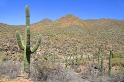 The saguaro Stock Photos