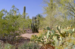 The saguaro Royalty Free Stock Photos