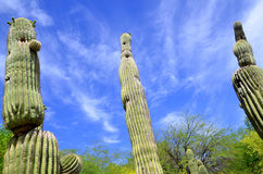 The saguaro Stock Images