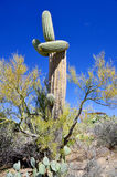 The saguaro Stock Photography