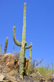 The saguaro Royalty Free Stock Images
