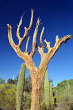 Saguaro Stock Photos