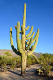 The saguaro Royalty Free Stock Photo