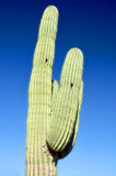 The saguaro. Is an arborescent (tree-like) cactus species in the monotypic genus Carnegiea,. It is native to the Sonoran Desert (Saguaro National Park) in the U royalty free stock photos