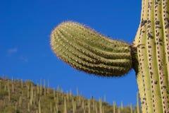 Saguaro arm detail. Saguaro cactus arm detail close-up Stock Photos