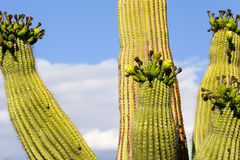 Saguaro arms. Saguaro cactus in Arizona, USA, with four arms in flower Royalty Free Stock Images