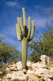 Saguaro auf dem Rocsk Lizenzfreie Stockfotografie