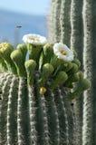 258 Saguaro-Bloei Stock Foto