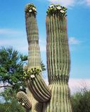 Saguaro in Bloom. Cactus flower Arizona royalty free stock photo
